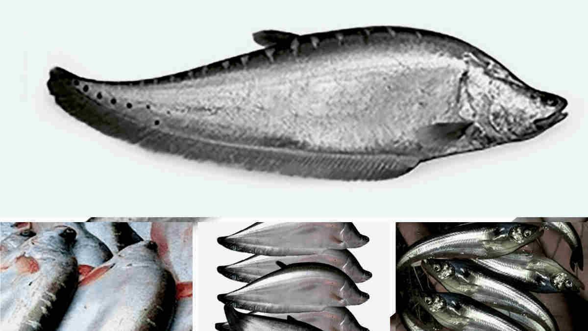 Chital fish farming in Hindi