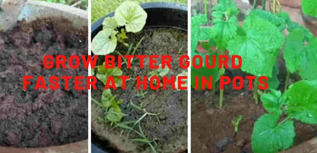 How to Grow Bitter Gourd Faster at home in Pots